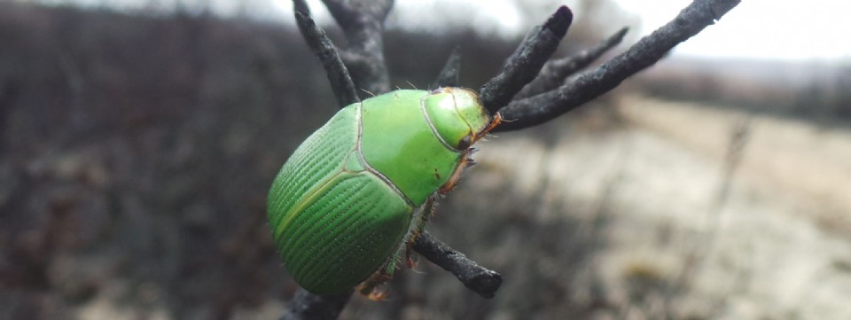 Beetle Newnes Platues after 2013 fires